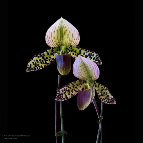 """Paphiopedilum Orchids """"A Pair of Slippers"""""""