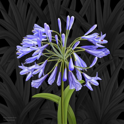 """Blue Agapanthus """"Lily of the Nile"""""""