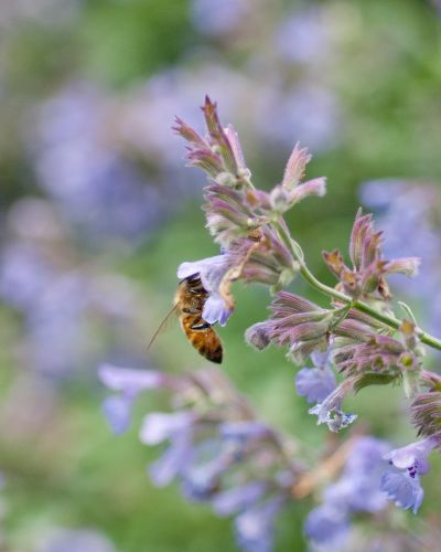 Bee on Catmint 2