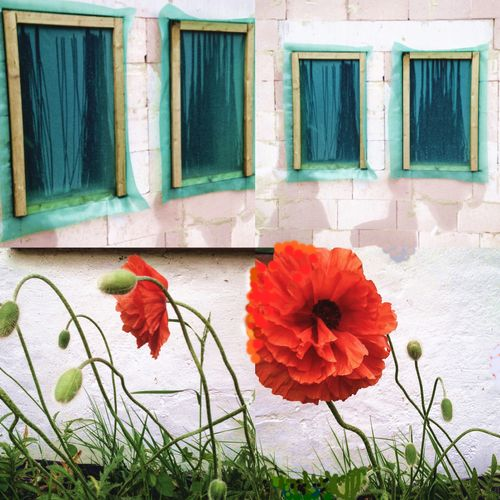 Poppies and turquise